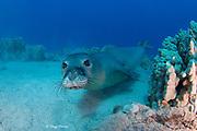 Hawaiian monk seal ( Neomonachus schauinslandi ) yearling female ( critically endangered species ), Mahukona, Kohala, Hawaii Island ( the Big Island ) Hawaiian Islands ( Central Pacific Ocean )