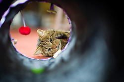 Domestic pet tabby cat playing in a cat tunnel, Leicester, England, UK.