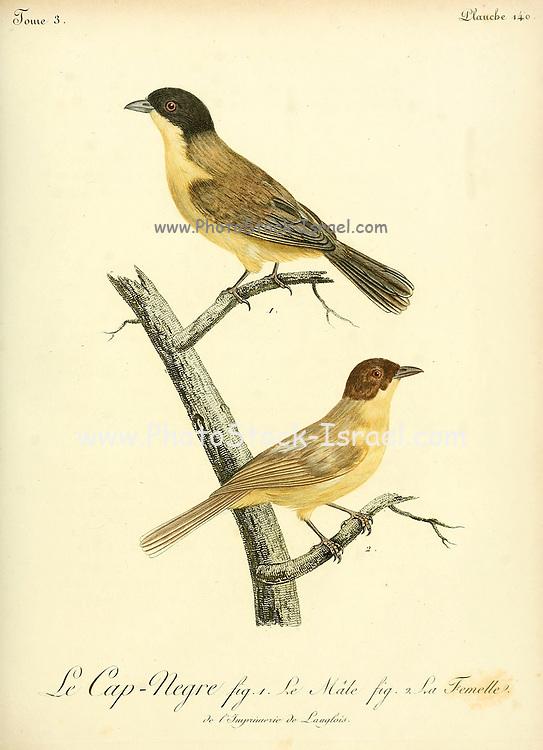 LE CAP NEGRE from the Book Histoire naturelle des oiseaux d'Afrique [Natural History of birds of Africa] Volume 3, by Le Vaillant, François, 1753-1824; Publish in Paris by Chez J.J. Fuchs, libraire 1799 - 1802