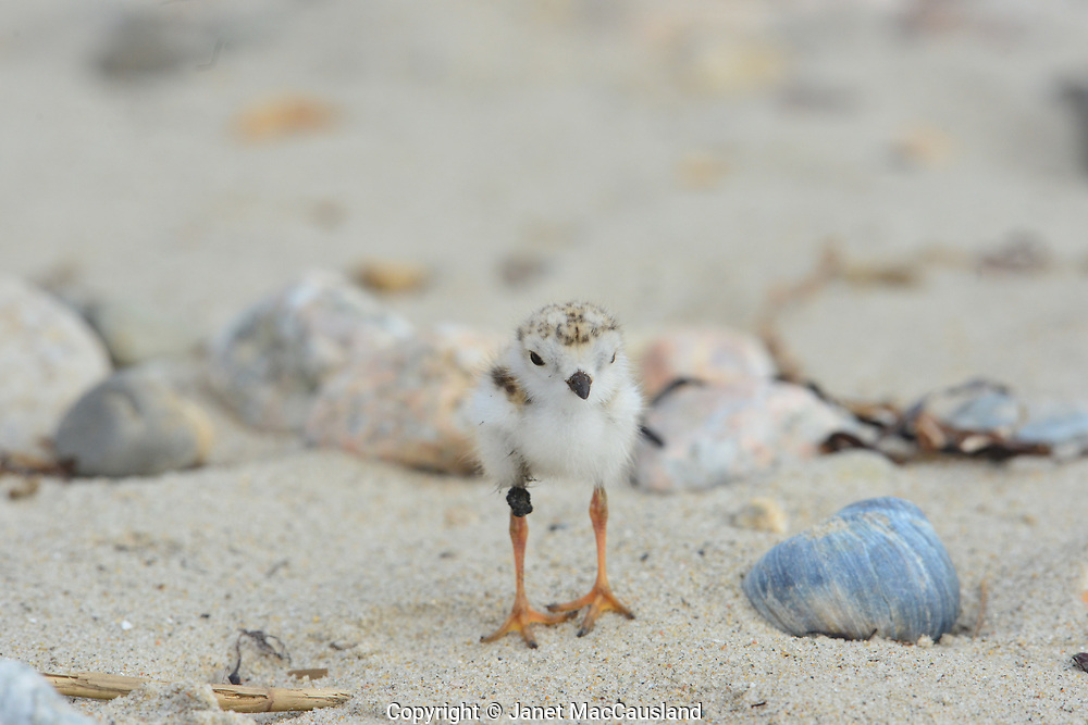 Within a few days of hatching, this endangered Piping Plover chick has gotten oil beach tar attached to its feathers. It may continue to gather debris. Hopefully it will fall off before doing severe damage or before it is ingested.
