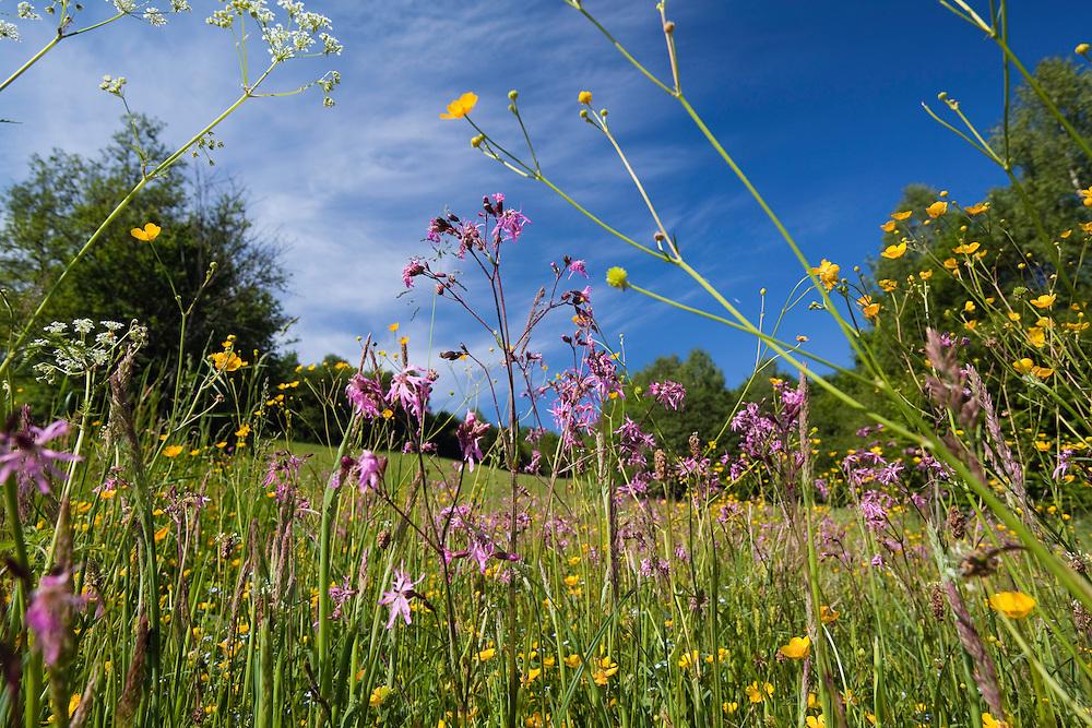 Flowering Meadow with, Buttercup, Ranunculus acris and Ragged Robin, Lychnis flos-cuculi, Poloniny National park, Western Carpathians, Slovakia, Europe