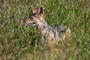black-backed jackal (Lupulella mesomelas syn Canis mesomelas), also known as the silver-backed or red jackal. Photographed in Serengeti National Park, Tanzania
