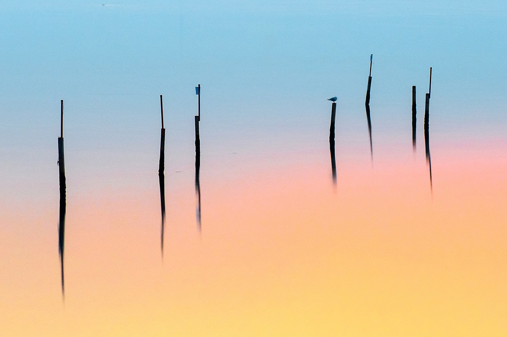 Birds rest at sunset on some wooden sticks used for the fishing nets by the fishermen of the Venetian Lagoon.