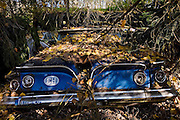 Switzerland, Kaufdorf, Gürbetal valley near Bern :hisotrical car cemetery. The Autofriedhof (car cemetery) is an extraordinary collection of rotting cars dumped by a spare parts salesman on land behind his workshops since the 1930s..The range of cars is fantastic: from Minis and Peugeots to old Chevrolets, Mustangs, Thunderbirds, Rileys and Jaguars from the 1950s and earlie.