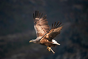 White tailed eagle with a fish in it's talons Haliaeetus albicilla, Norway