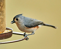 Tufted Titmouse (Baeolophus bicolor). Image taken with a Nikon D850 camera and 600 mm f/4 VR lens.