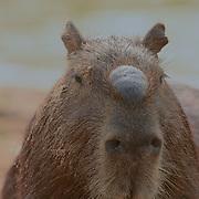Capybara (Hydrochaeris hydrochaeris) Largest rodent in the world. Portrait of male. Pantanal. Brazil.