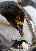 Macaroni penguin (Eudyptes chrysolophus) with chick on its nest. Photo from Sounders Island, the Falkland Islands.