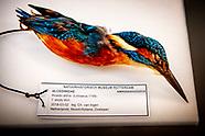 IJsvogel terug in Natuurhistorisch Museum Rotterdam