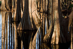 Stock photo of cypress trees in the water