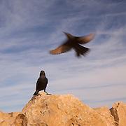 Israel, Dead Sea, Tristram's Starling or Tristram's Grackle (Onychognathus tristramii). Photographed at the Dead Sea, Israel