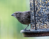 Brown-headed Catbird. Image taken with a Leica SL2 camera and 90-280 mm lens.