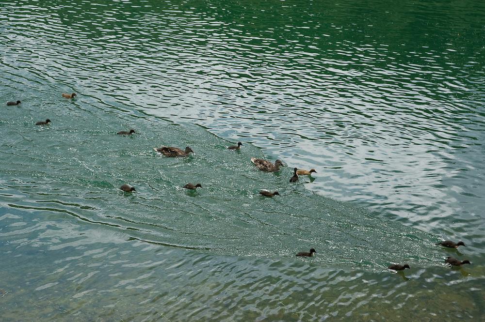 Mallard family in Rijeka Crnojevica, Lake Skadar National Park, Montenegro