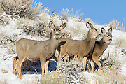 Mule deer does and fawns in snow