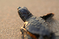 Soon the hatchling loggerhead sea turtle (Caretta caretta) will be safe from the ghost crabs and the fast growing heat of the rising morning sun.