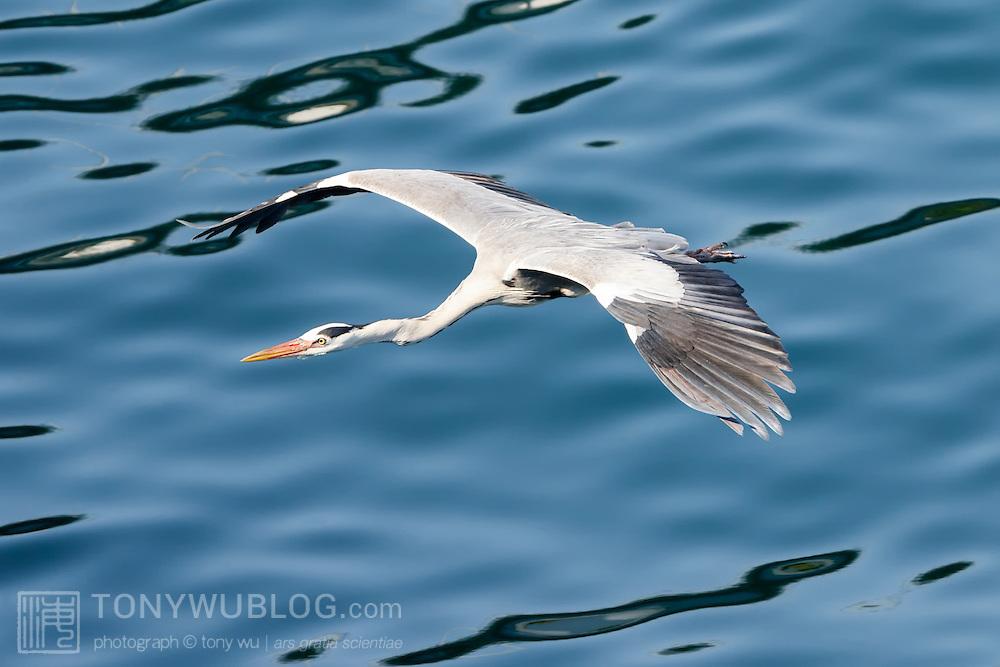 Grey heron (Ardea cinerea) flying low over the ocean. Photographed in Kochi prefecture, Japan. アオサギ
