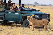 A lioness (Panthera Leo) stands in front of a safari vehicle of photographers, Savuti, Botswana