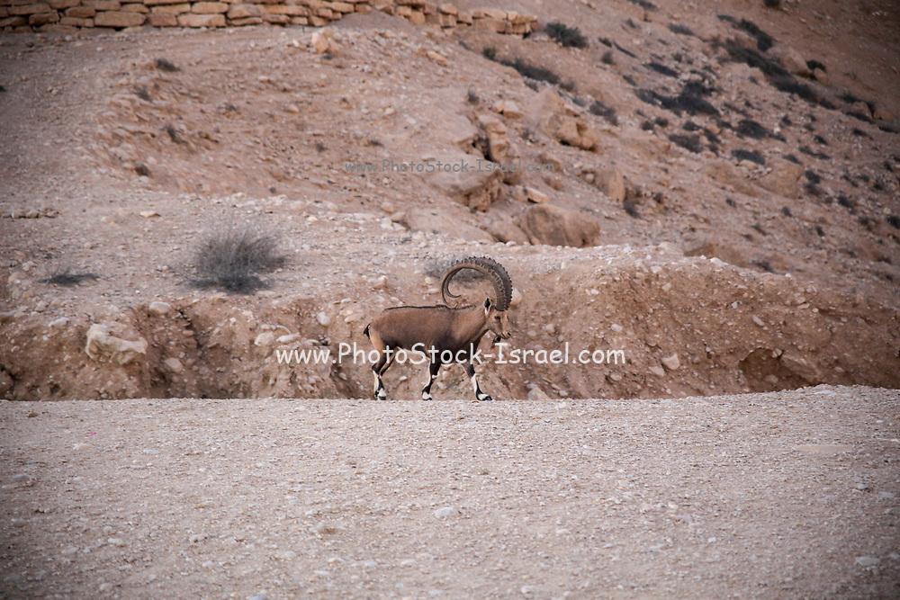 Impressive Male Nubian Ibex (Capra ibex nubiana AKA Capra nubiana). Photographed at Kibbutz Sde Boker, Negev Desert, Israel in September