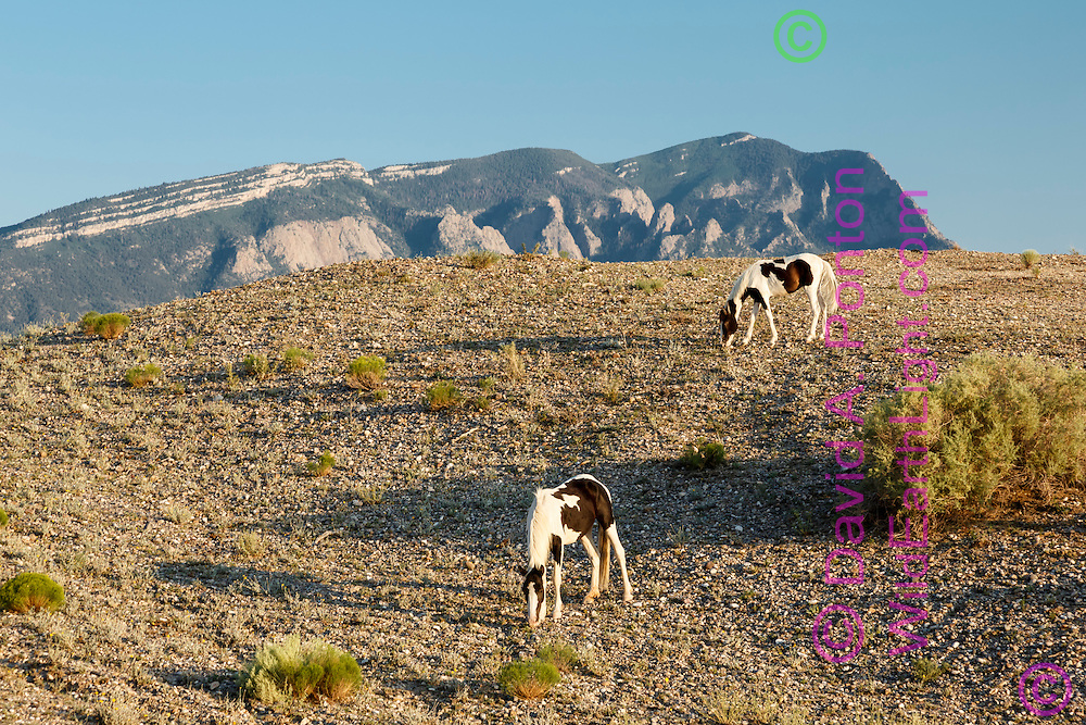 Mustang pintos grazing on hillside in arid land in the New Mexico landscape near Placitas, with the Sandia Mountains in the background
