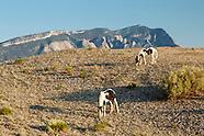 PLACITAS WILD HORSES, WITH SANDIA MOUNTAINS