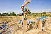 16 MARCH 2006 - KAMPONG CHAM, KAMPONG CHAM, CAMBODIA: A woman threshes rice during the harvest near the city of Kampong Cham on the Mekong River in central Cambodia. Rice here is still harvested by hand. PHOTO BY JACK KURTZ