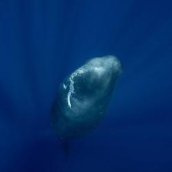 cachalot, sperm whale, physeter macrocephalus, sleep, dort, sieste
