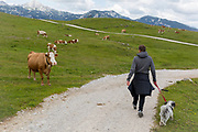 A walker keeps his dog on a lead near grazing cows in Velika Planina, on 26th June 2018, in Velika Planina, near Kamnik, Slovenia. Velika Planina is a mountain plateau in the Kamnik–Savinja Alps - a 5.8 square kilometres area 1,500 metres (4,900 feet) above sea level. Otherwise known as The Big Pasture Plateau, Velika Planina is a winter skiing destination and hiking route in summer. The herders' huts became popular in the early 1930s as holiday cabins (known as bajtarstvo) but these were were destroyed by the Germans during WW2 and rebuilt right afterwards by Vlasto Kopac in the summer of 1945.