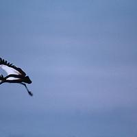 Botswana, Chobe National Park, Gray Crowned Crane (Balearica regulorum) flies along Chobe River at twilight