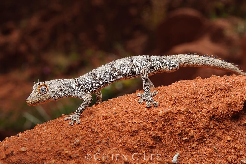 Spiny-tailed Gecko (Diplodactylus ciliaris). Exmouth, Western Australia.