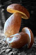 Whole fresh wild ceps mushrooms