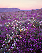 CADAB_111 - USA, California, Anza Borrego Desert State Park, Desert sand verbena and dune evening primrose blooming on dunes at sunrise with Coyote Mountain in the distance.