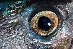 Eye of a Wahoo, Pacific Kingfish or Ono in Hawaiian, Acanthocybium solandri, off Kona Coast, Big Island, Hawaii, Pacific Ocean.