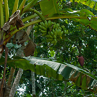 Bananas grow by an Indian village in Peru's Amazon Jungle.