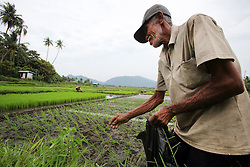 Buniamin  67 with areas of paddy rice seedlings ready for transplanting in the rice fields which are now being used but which were damaged by the Indian Ocean tsunami in 2004. Lho-nga village, District Aceh Besar, Aceh Province, Sumatra, Indonesia