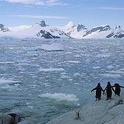 Gentoo Penguins on the Antarctic Peninsula.