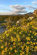 Brittlebush on Rocky Slope at Sunset, Mojave National Preserve, California