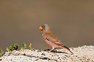 Trumpeter Finch - Bucanates githagineus