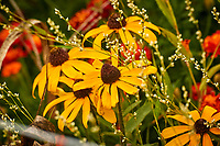 Black-eyed Susan. Image taken with a Nikon 1V3 camera and 70-300 mm VR lens