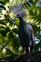 Crowned pigeon,  Goura cristata, Aiduma island, Western Papua, from the book PAPUA - AMONG BIRDS OF PARADISE AND MANTA RAYS