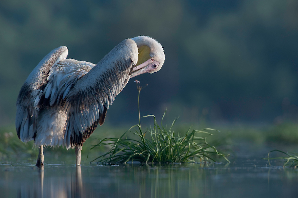 White pelican (Pelecanus onocrotalus), Lake Belau, Moldova
