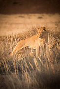 Desert Lions in the grass, Hoanib River, Skeleton Coast, Northern Namibia, Southern Africa