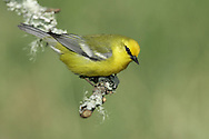 Blue-winged Warbler - Vermivora cyanoptera - Male