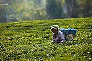 Fair Trade Worker Fair trad pluckers harvest tea leaves in Ambootia, Darjeeling