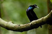 Magnificent Riflebird Bird of Paradise (Ptiloris magnificus) perched at his display vine.