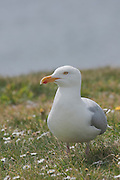 Side view of a herring gull next to the car park at Chanonry Point on the Black Isle, Scotland.