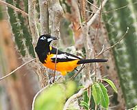 Venezuelan Troupial (Icterus icterus). Kralendijk, Bonaire. Image taken with a Nikon D3s camera and 70-300 mm VR lens.