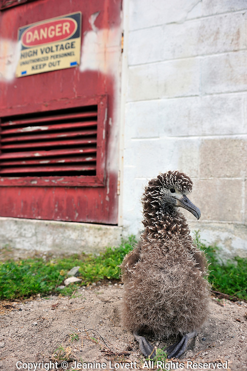 5% of Midway albatross chicks die of lead paint poisoning every year. this shot is taken near world war II building near a high voltage warning sign.