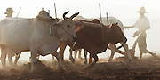 Farm fields with men using plow and oxen, Ayeyarwady River, Bagan