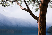 A Pacific Madrone (Arbutus menziesii) on the shores of Lake Crescent, in Olympic National Park, Washington, with the foothills of the Olympics lightly dusted in snow in the background.