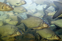 Bream (Abramis brama) and Chub (Squalius cephalus)<br /> In dense school, during winter, in calm part of the Rhine river, Schaffhausen, Switzerland<br /> Brachsmen (Abramis brama) und Alet oder Döbel (Squalius cephalus)<br /> In dichtem Schwarm während des Winters, in ruhigem Nebenarm des Rheins, Schaffhausen, Schweiz<br /> Brème franche (Abramis brama) et Chevaine (Squalius cephalus)<br /> En groupe dense, pendant l'hiver, dans partie calme du Rhin, Schaffhouse, Suisse